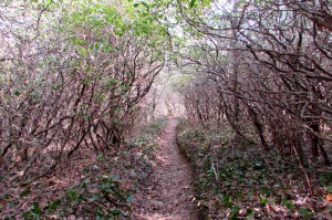 Rhododendron tunnels