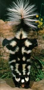 skunk-handstand