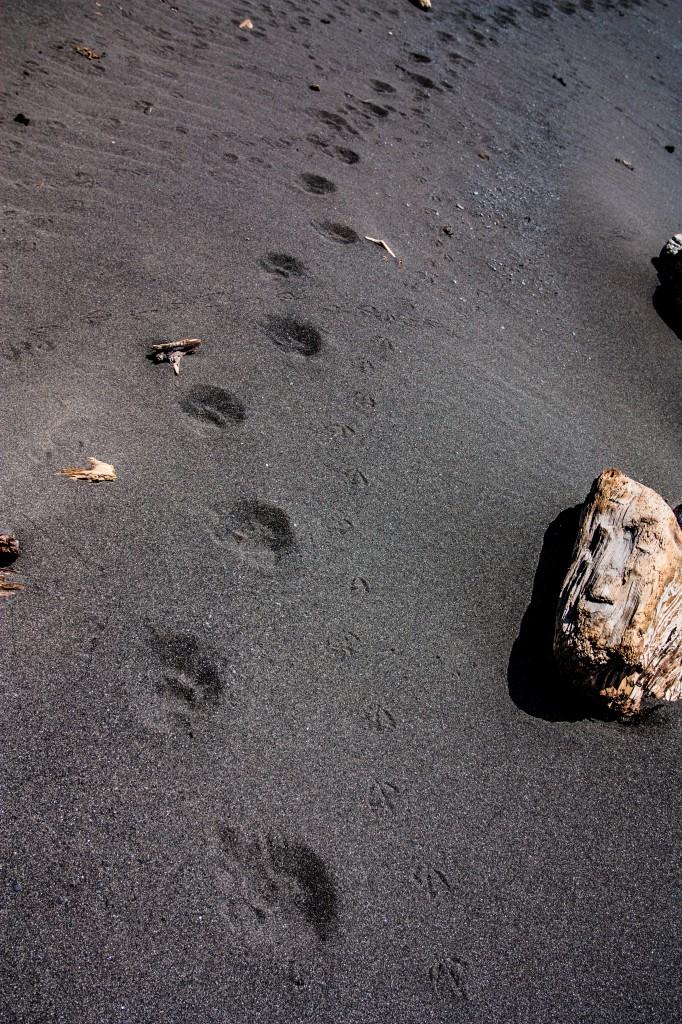 Black bear tracks on the beach along the Lost Coast Trail
