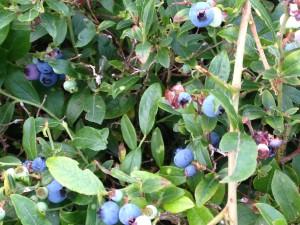 Blue Berry Blazing