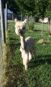 Baby Alpaca at Four Pines Hostel. Great haircut!