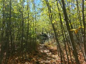 Spindly Black Birches