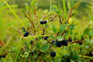 Blueberries are a common berry found in AK