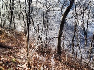 Ice on trees on the shady side of the mountain.