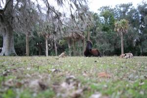 Feral Horse enjoying the oak tress.