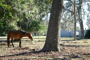 One of the many feral horses that live on the island.
