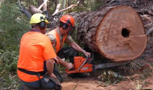Sometimes you really need a chainsaw.  Photo, www.chainsawtraining.au