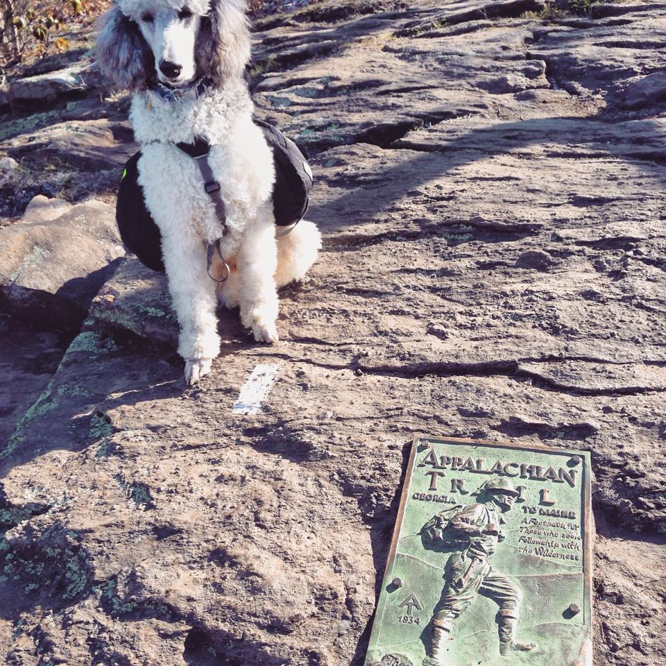Shooter and I summited Springer mountain at around 11am Saturday morning, April 28th. It was a magical moment. Despite the bitter cold wind, we couldn't have asked for a more beautiful day to be hiking.