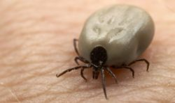 Engorged Deer Tick