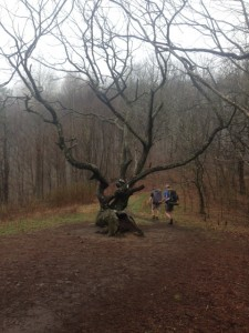 The old twisted tree at Mile 78.6