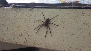 Huge spider in the privy!