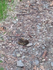 BABY CHIPMUNK! Sleeping right in the middle of the trail.