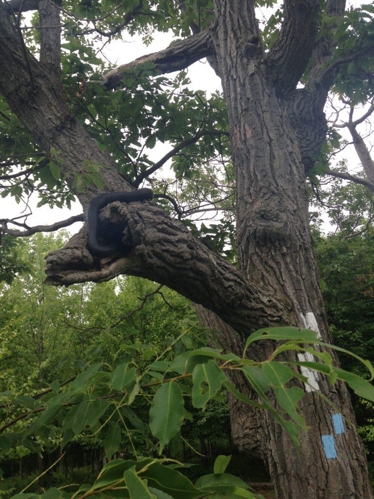 Black rat snake up in a tree.