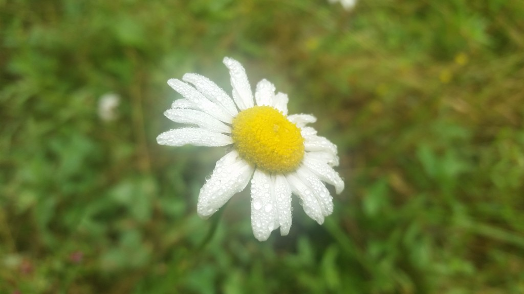 Dew covered daisy