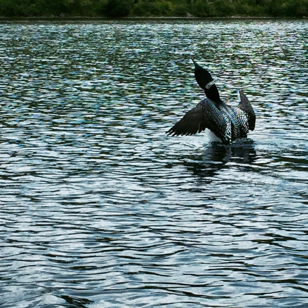 A loon taking flight off Lower South Branch Pond.