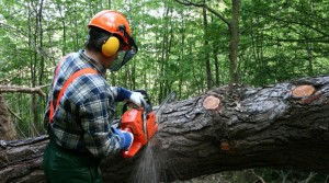 Bucking a fallen tree.  Photo, locusresearch.com