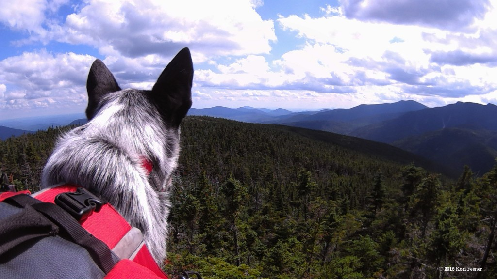 Queenie looking out over the White Mountains.