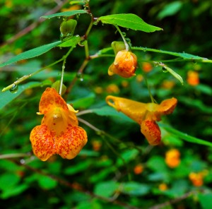 Jewelweed: Photo courtesy Flickr.com