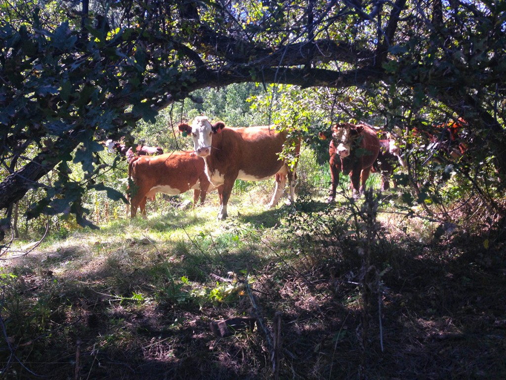 colorado trail cows