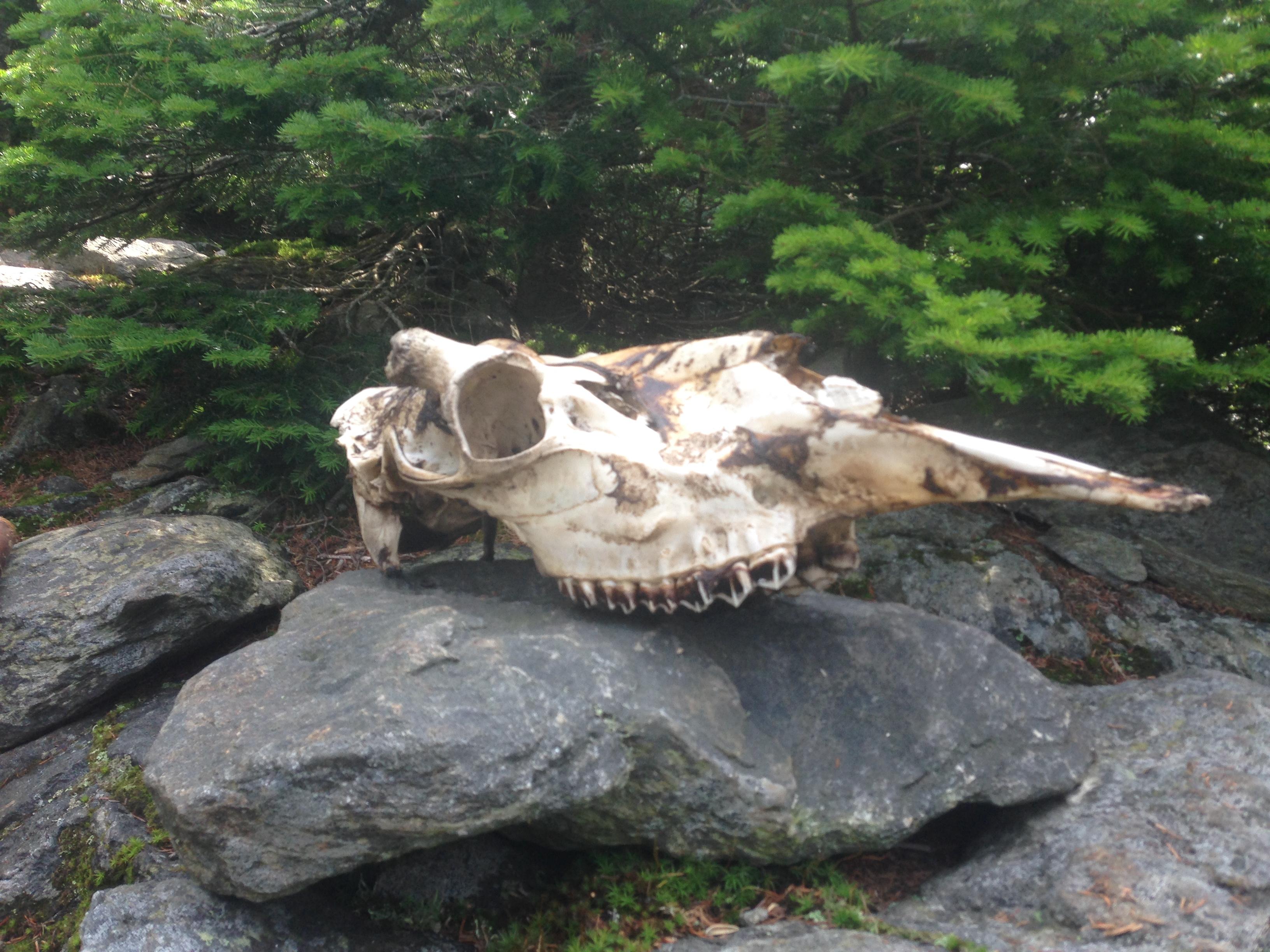moose skull on crocker