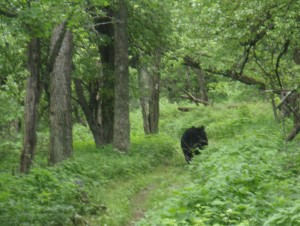 AT bear runs away