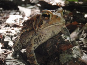 This trail toad is standing in for all the wildlife that was seen but not photographed - especially birds.