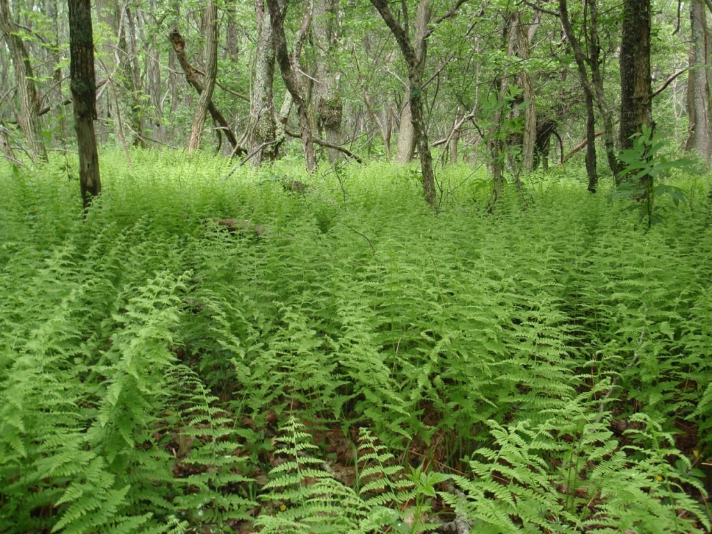Hay-scented fern. Best smell ever.