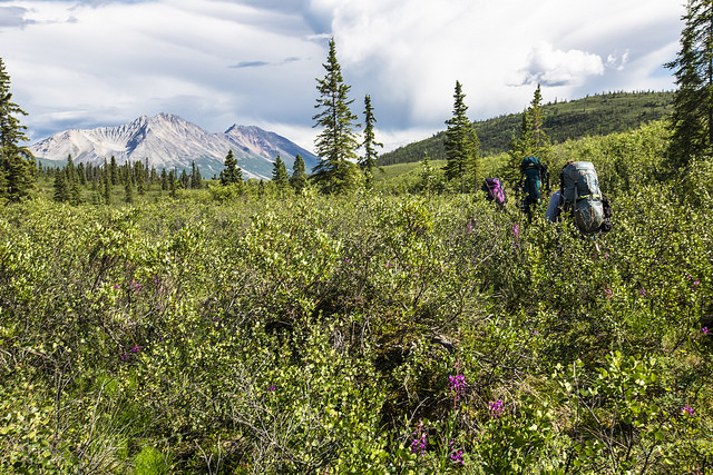 Bushwhacking in Wrangell St. Elias National Park.