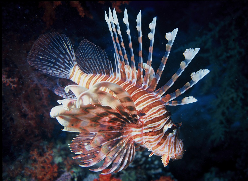 Champion of the Pacific, the Lionfish was dumped from a home aquarium into the Atlantic. Lionfish have been spotted from NC to Mexico.