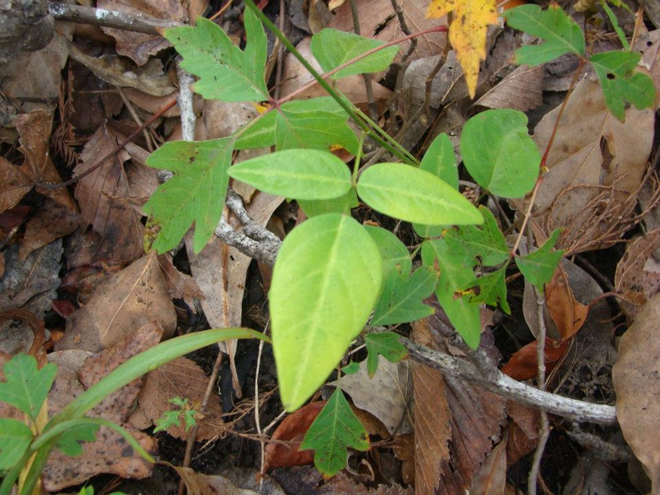image of plant surrounded by poison ivy
