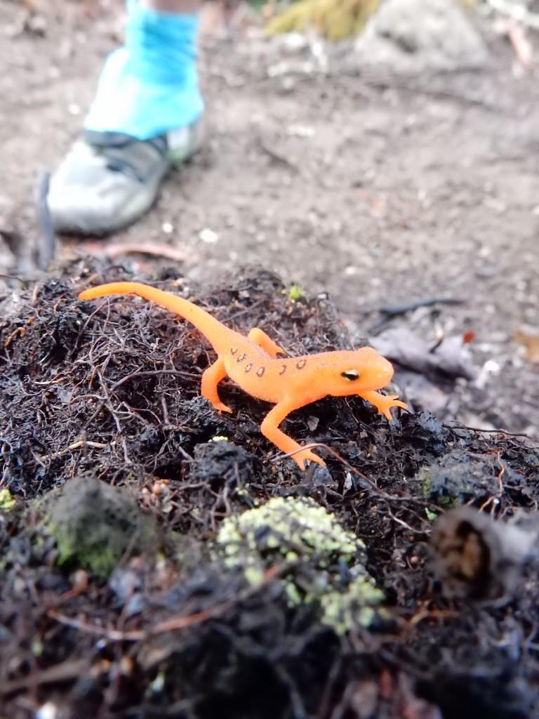 Red Dwarf Salamander