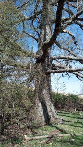 Keffer Oak 2014