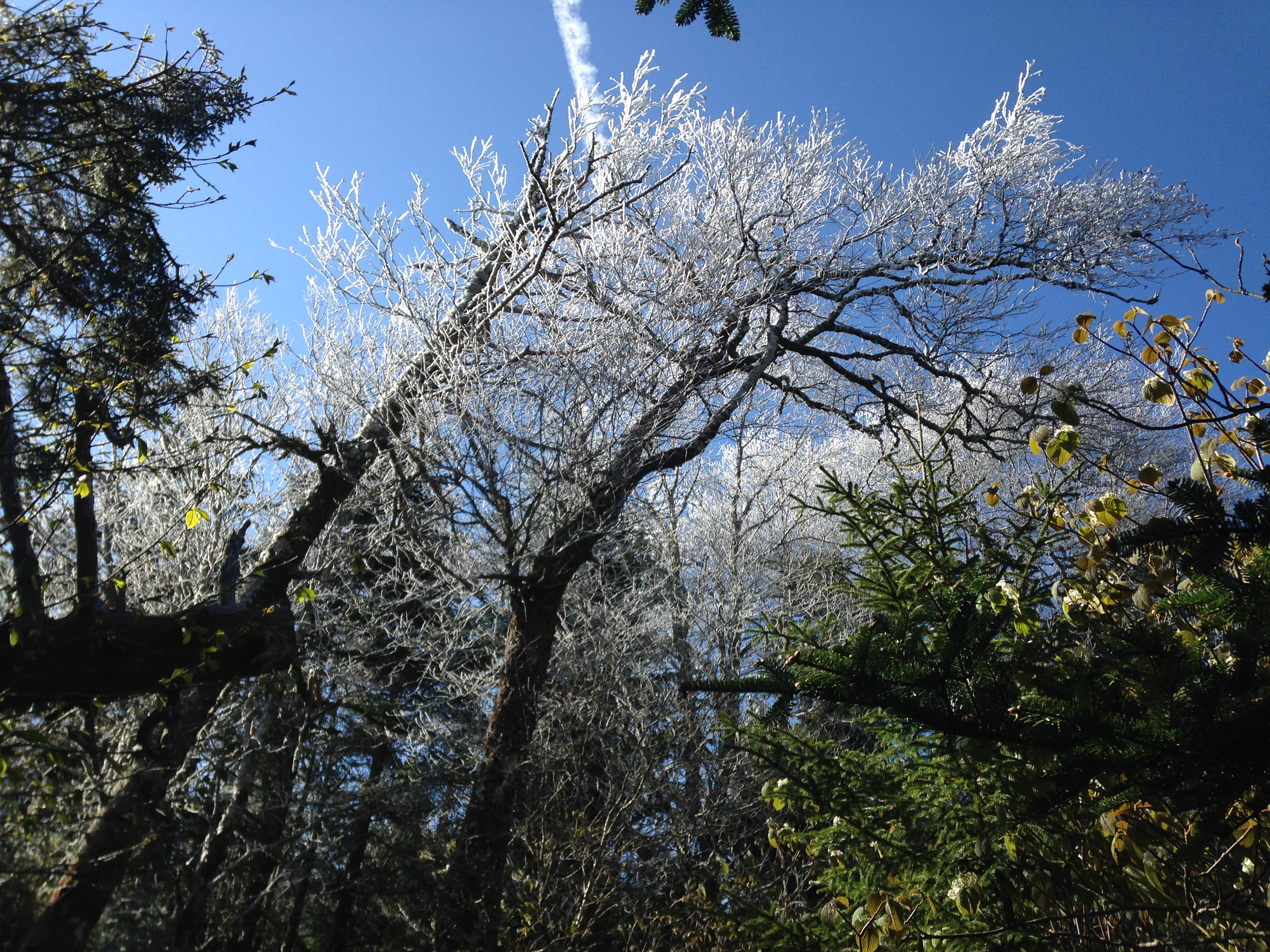 Ice on the pines. Just another May in the Smokies.