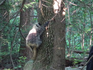Porcupine who decided to visit our camp for the morning