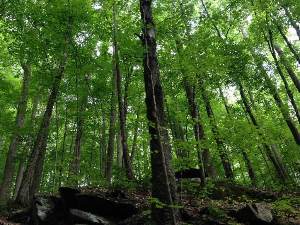 Tall trees on the Appalachian Trail