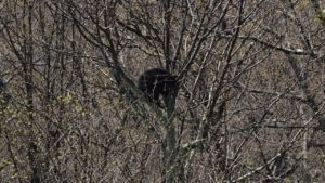 black bear shenandoah