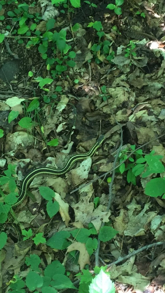 One of three garter snakes I saw on my first day in the north.