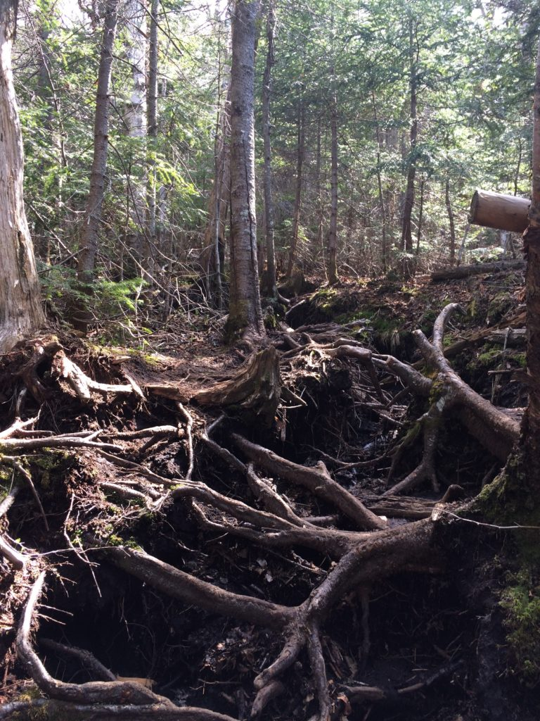 Lesson 1 of trail-less peak bagging: there are roots. A lot of roots.