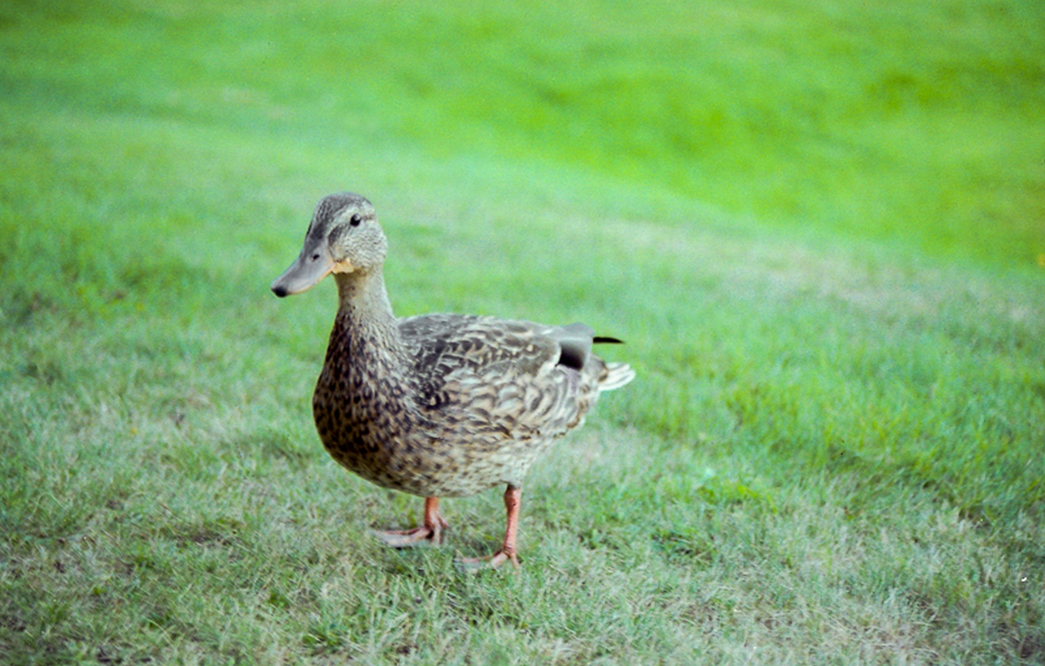 Our duck friend in Rangley, Maine.