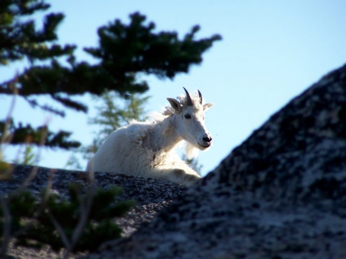 Here's one from the archives...the Enchantments in Washington are filled with goats. Pitter patter.