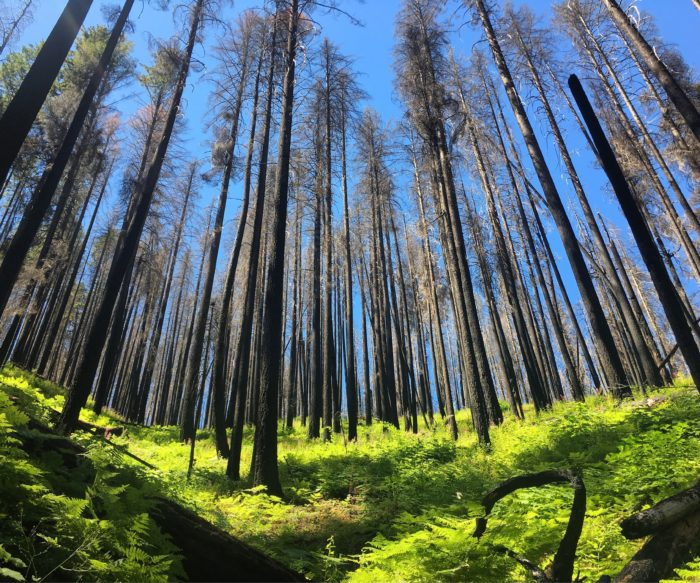 trees in burned forest