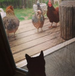 oy-meets-chickens