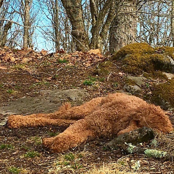 poodle-down