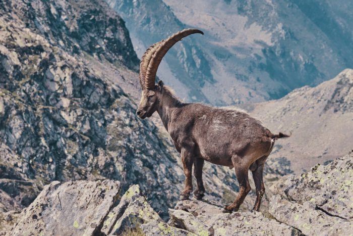 Ibex Italian alps wildlife photography