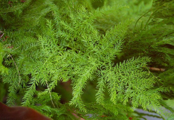 10 wild edible plants - Wild Asparagus