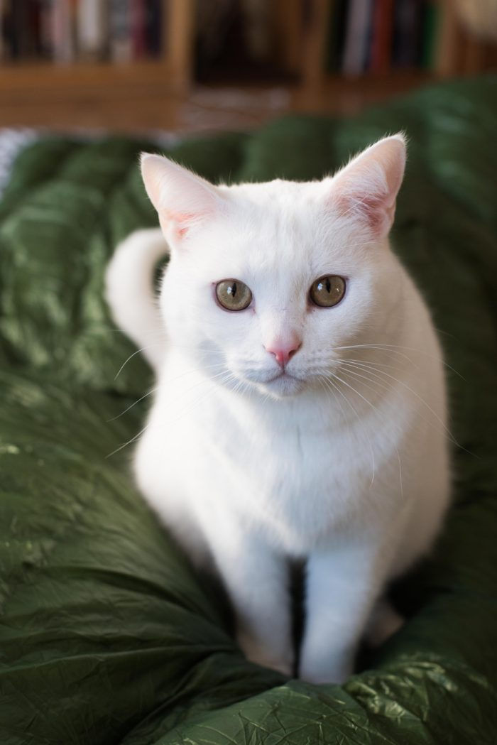 a photo of a white cat on a quilt