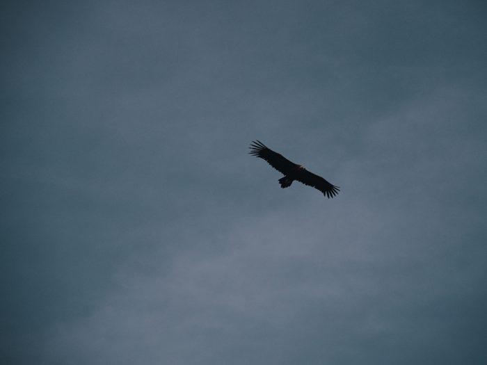 vulture, spain