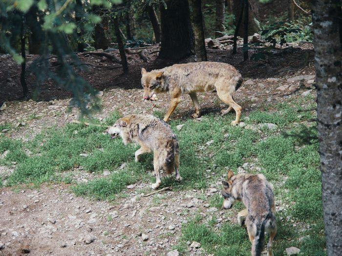 wolves mercantour france