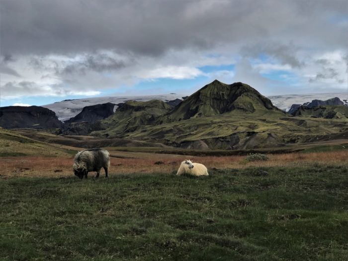 Sheep roaming on the Laugavegur trail