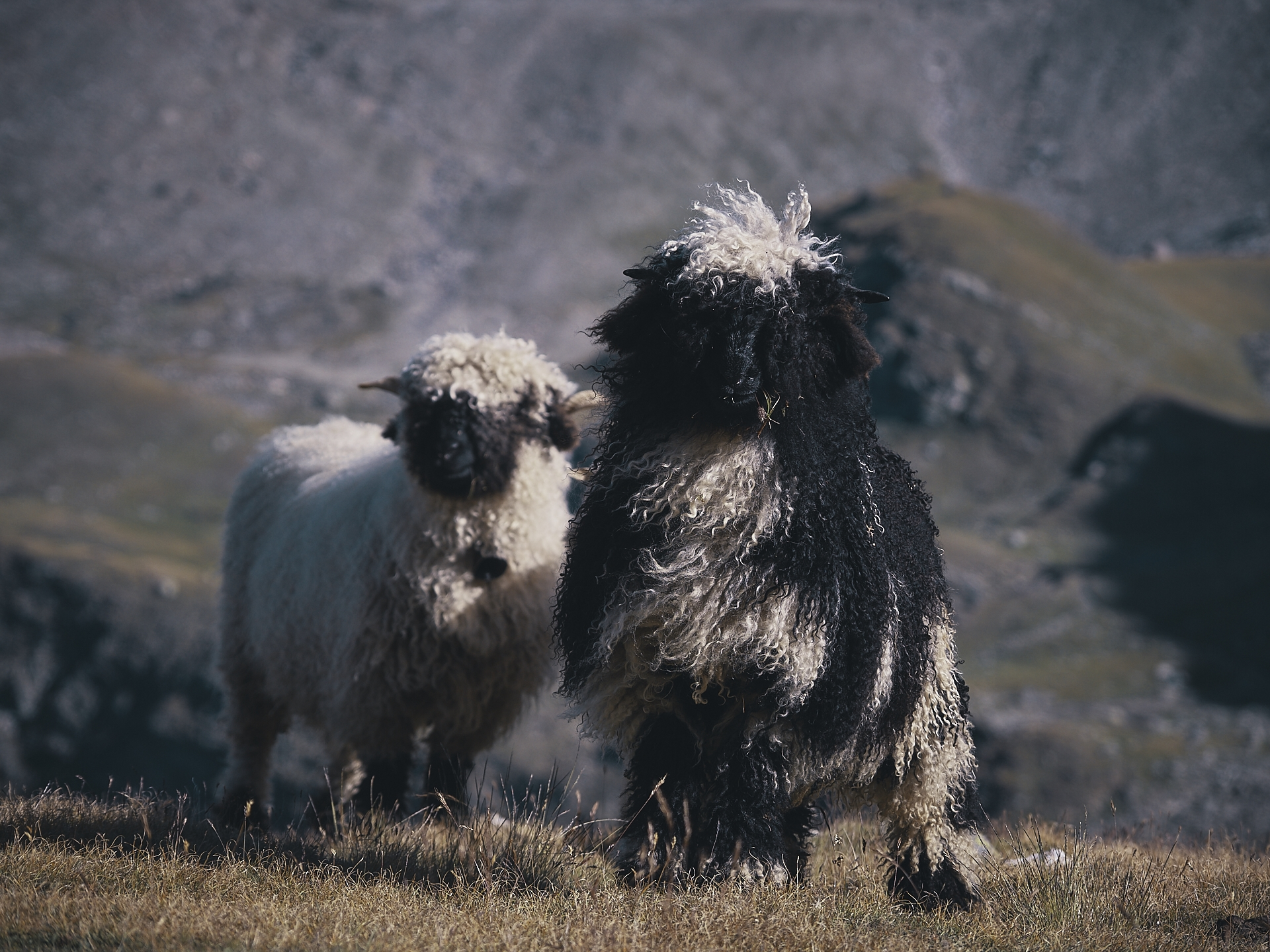 Black Nose sheep of the Valais, Switzerland